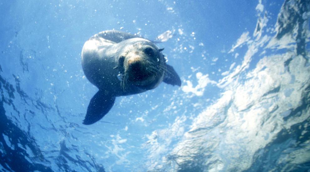 NZ-anjing-laut-berenang-di-kaikoura
