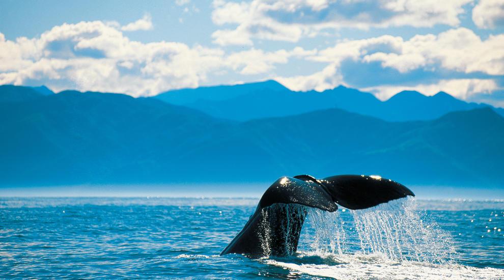 NZ-whales-in-kaikoura