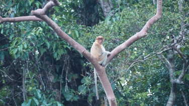 Proboscis Monkey - Tanjung Puting National Park