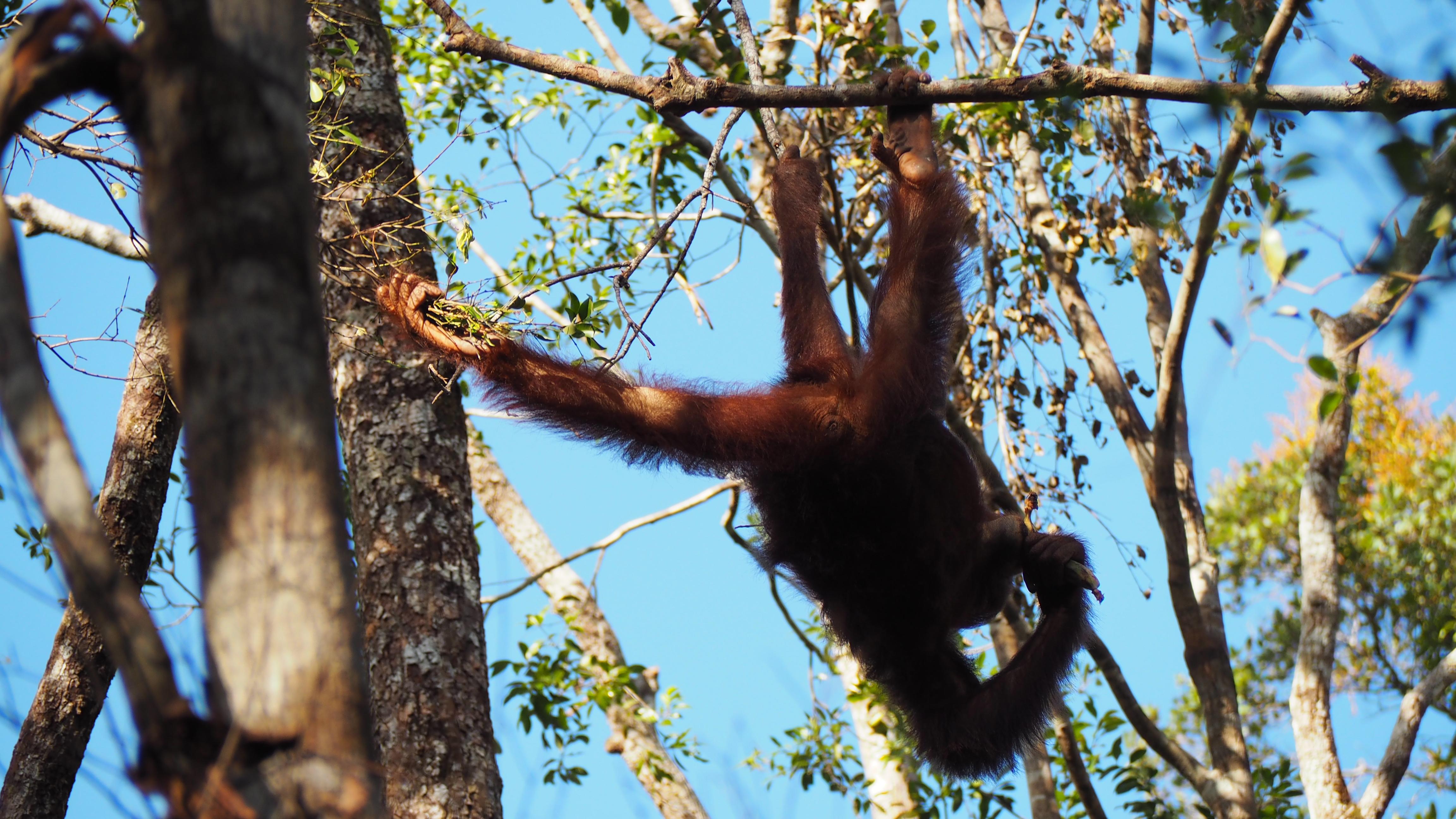 Tanjung Puting National Park Orang Utan