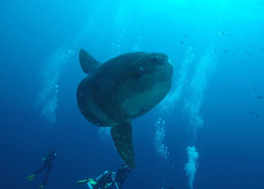 Gentle Giants - Mola-mola