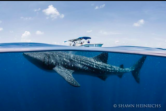 Gentle giants - Whale shark