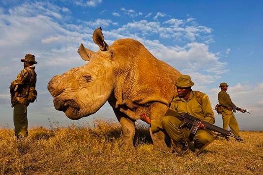 Gentle giants - Rhinoceros